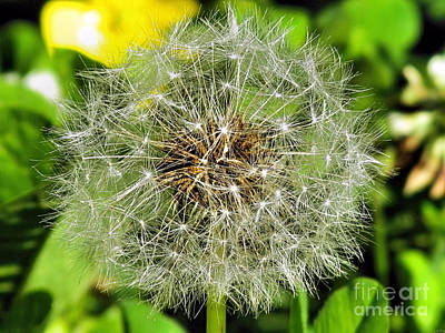Vermeer Rights Managed Images - Dandelion Seeds Royalty-Free Image by Elizabeth Dow