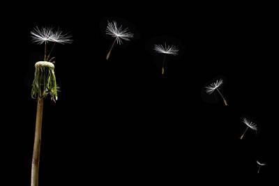 Seed Pod Photograph - Dandelion Seeds Float Away by Steve Gadomski