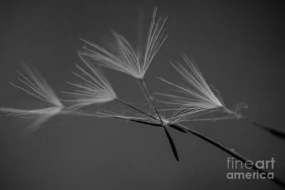 Photograph - Dandelion Seeds  by Jim Corwin