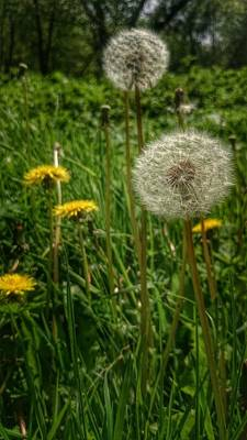 Photograph - Dandelion Seeds by YoursByShores Isabella Shores