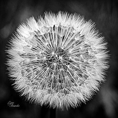 Photograph - Dandelion Seeds by Lynn Bawden