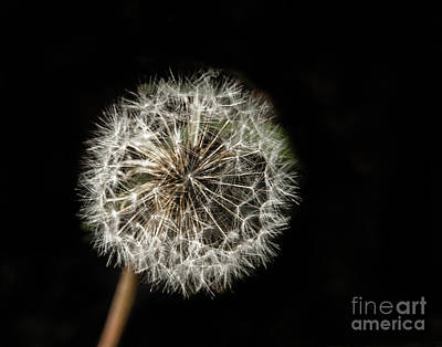 Photograph - Dandelion Seeds by Robert Bales