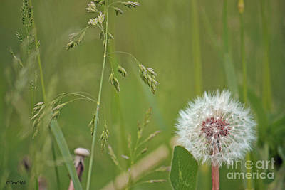 Photograph - Dandelion Seeds  by Terri Mills