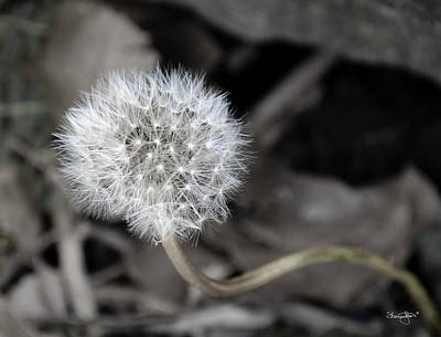 Photograph - Dandelion by Shanna Hyatt