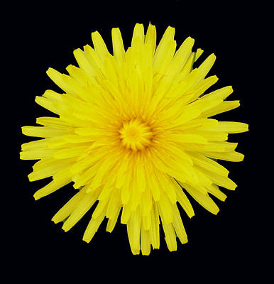 Dandelion Art Print by Shirley anne Dunne