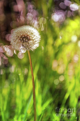 Photograph - Dandelion Sparkle  by Cathie Richardson