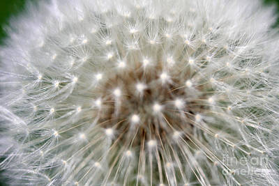 Photograph - Dandelion by Stacey Zimmerman