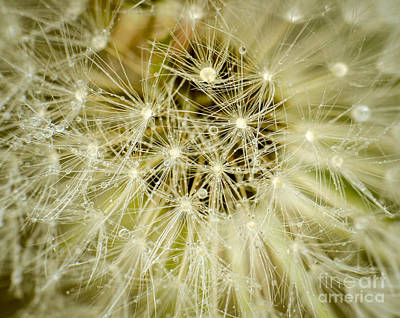 Photograph - Dandelion Stars by Amy Porter