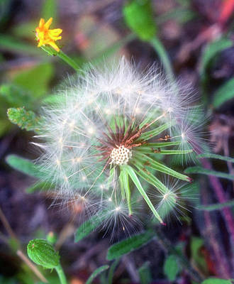 Photograph - Dandelion by Stephen Anderson