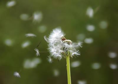 Dandelion Original