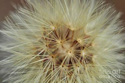 Photograph - Dandelion Study by Nanette OHara