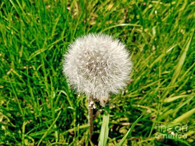 Photograph - Dandelion Sun by Robert Knight