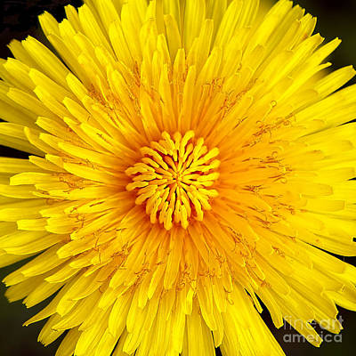 Photograph - Dandelion Sun by Sharon Talson