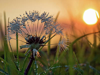 Dandelion Sunset 2 Art Print