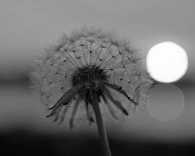 Photograph - Dandelion Sunset Collins Cove Black And White by Toby McGuire