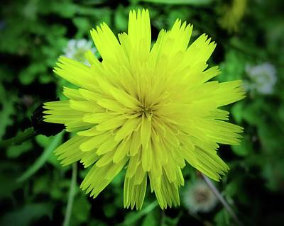 Photograph - Dandelion Symmetry by Lora Fisher