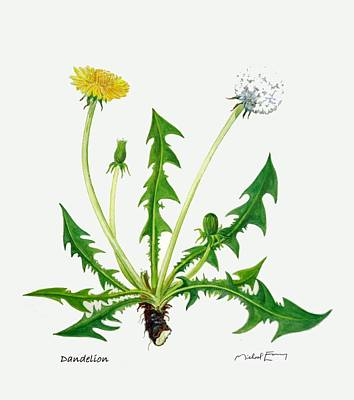 Painting - Dandelion - Taraxacum Officinale by Michael Earney