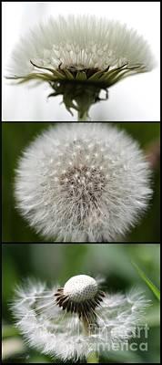 Photograph - Dandelion Triptych by J McCombie