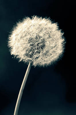 Photograph - Dandelion by U Schade