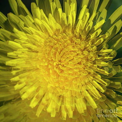 Abstract Flowers Royalty-Free and Rights-Managed Images - Dandelion by Veikko Suikkanen