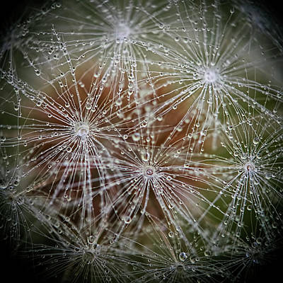 Photograph - Dandelion Water Drop Macro 3 by Christina VanGinkel