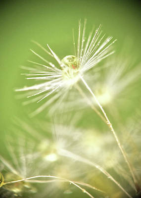 Photograph - Dandelion Water Drop Macro 8 by Christina VanGinkel