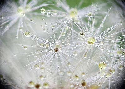 Photograph - Dandelion Water Drop Macro 9 by Christina VanGinkel