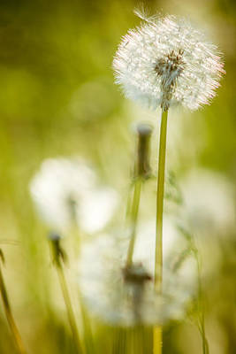Photograph - Dandelion Whimsy by Chris Bordeleau