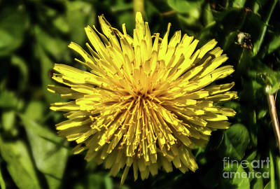 Photograph - Dandelion by William Norton