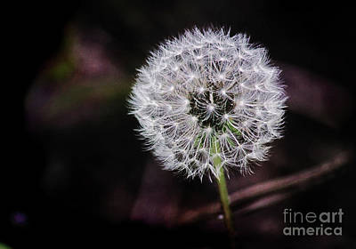 Photograph - Dandelion Wine by Karen Adams