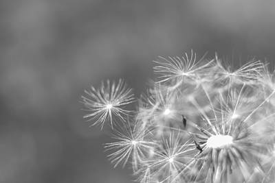 Photograph - Dandelion Wishes Black And White by Terry DeLuco