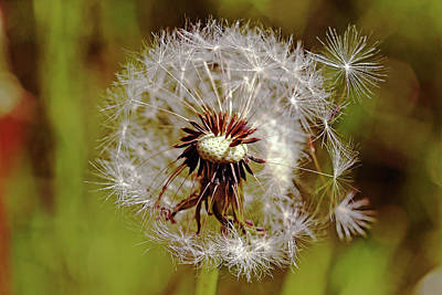 Photograph - Dandelion Wishes by Debbie Oppermann