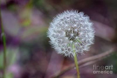 Photograph - Dandelion Wishes by Karen Adams