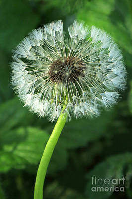 Photograph - Dandelion Wishie by Frank Townsley