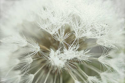Photograph - Dandelion With Droplets I by Paulo Goncalves