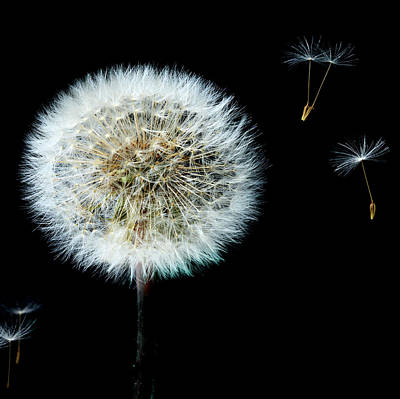 Photograph - Dandelion With Floating Seed Heads  by Alex Saunders