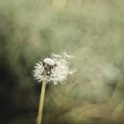 Green Wall Art - Photograph - Dandelion  #lensbaby #composerpro by Mandy Tabatt