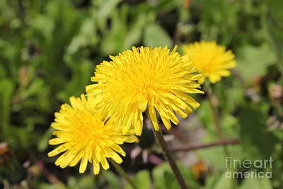 Photograph - Dandelions 2 by Donna L Munro