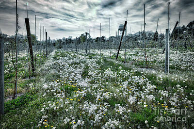Photograph - Dandelions As Far As The Eye Can See by Ann Jacobson