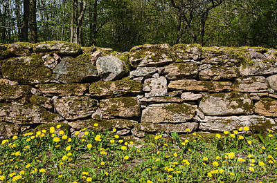 Photograph - Dandelions At Mossy Stone Wall by Kennerth and Birgitta Kullman