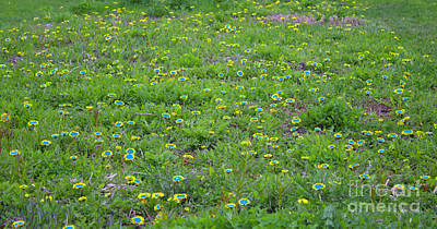 Photograph - Dandelions by Donna L Munro