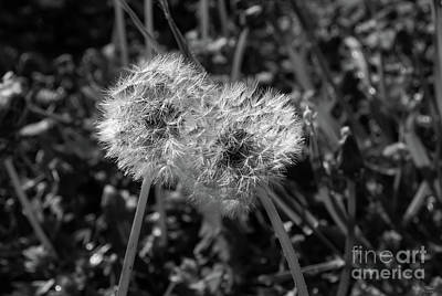 Photograph - Dandelions Leaning Together Grayscale by Jennifer White