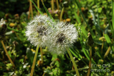 Photograph - Dandelions Leaning Together by Jennifer White
