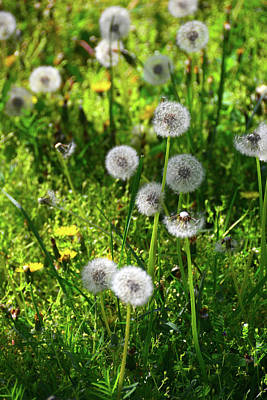 Photograph - Dandelions On The Maryland Appalachian Trail by Raymond Salani III