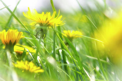 Photograph - Dandelions by Rene Pronk