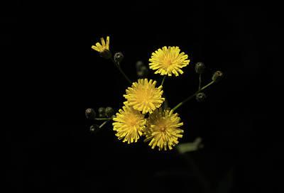 Photograph - Dandelions by Trance Blackman