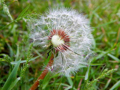 #dandilion #nature Original