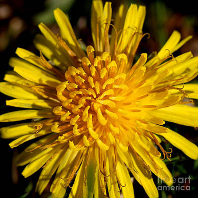 Photograph - Dandy Dandelion by Karen Adams