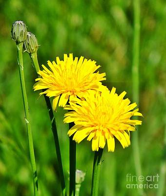 Photograph - Dandy Dandelions  by Christy Ricafrente