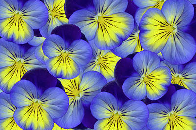 Photograph - Dandy Pansies by Ann Bridges